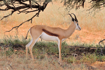 Springbok hiding under tree