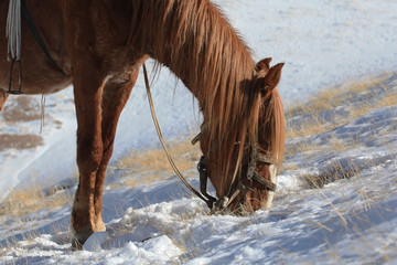 Red Kyrgyz horse grazing in the mountains in winter