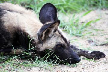 The African wild dog's head predator lies. Reserve