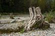 canvas print picture - Baumwurzel am Teich