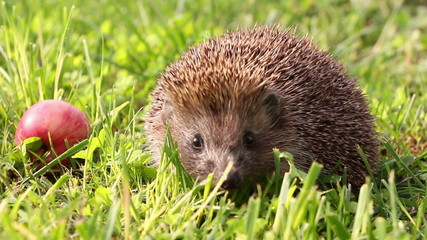 Hedgehog is walking and sniffing in the grass, red apples around