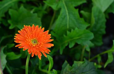 Orange gerbera flowers that look fresh.