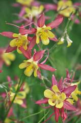 Желто-розовая аквилегия в цветнике