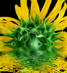 Sunflower close-up reflected in water surface.