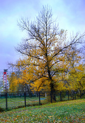 autumn cityscape. yellow tree near the fecnce
