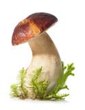Boletus edulis on white background