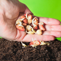 Female hand planting seedlings in the ground chickpeas, lentils