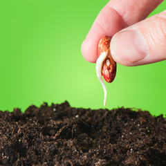 Female hand planting seedling in the ground  beans.
