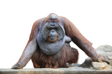 Orang utan sitting on white 1