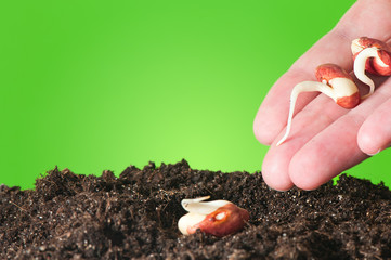 Female hand planting seedling in the ground  beans. Close up.