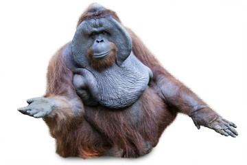 Orang utan sitting on white