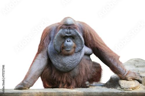 Foto op Canvas Aap Orang utan sitting on white 1