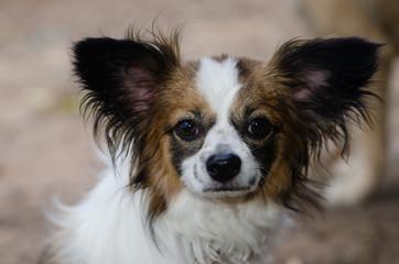 小型犬(パピヨン、チワワ)の冒険