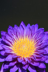 Purple water-lily