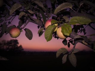 Apfelbaum vor Abendrot
