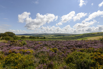 heather field and hilly countryside, Exmoor