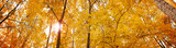 Yellow autumn maple leaves - banner panorama