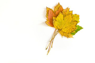 a small bunch of autumnal maple leaves isolated