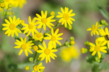 Blossom of bright yellow flowers on the meadow