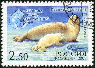 RUSSIA - 2003: shows Caspian seal (Pusa caspica)  with the calf