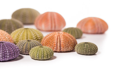 Sea Hedgehogs shells isolated on  white Background