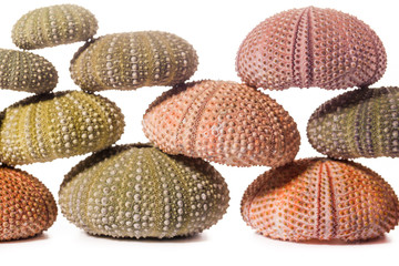 Sea Hedgehog shells isolated on  white Background
