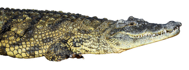 large American crocodile