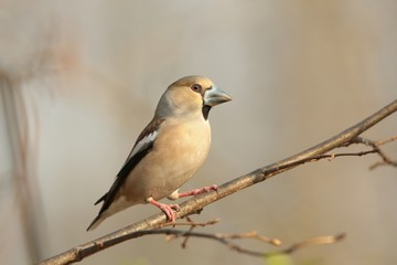 Female Hawfinch -Coccothraustes coccothrautes on a branch