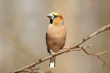 Male Hawfinch (Coccothraustes coccothrautes) on a branch