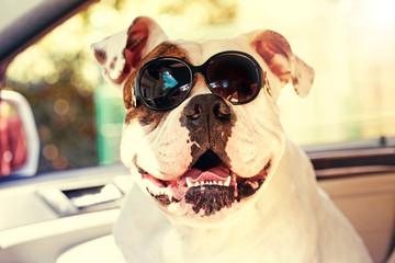 bulldog in sunglasses