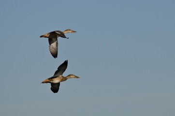 Two Northern Shovelers Flying in a Blue Sky