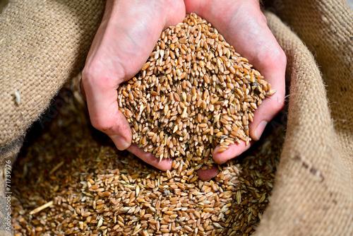 Fotobehang Granen Timilia wheat