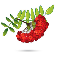 Bunch of red rowan berries with leaves isolated on white