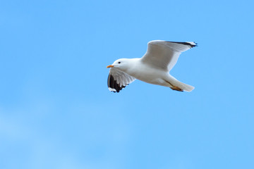 Larus canus, Common Gull