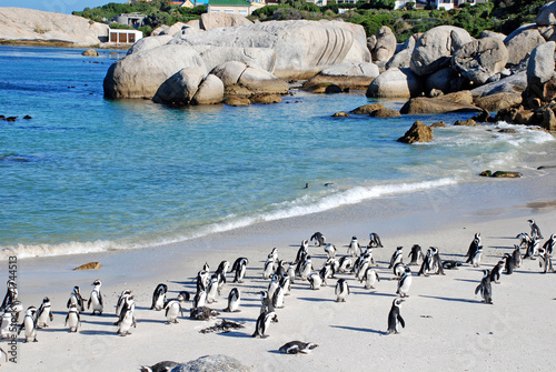 Tuinposter Pinguin penguin colony on the ocean beach near Capetown