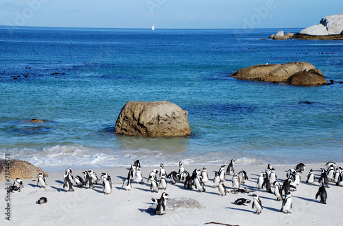 Poster Pinguin penguin colony on the ocean beach near Capetown