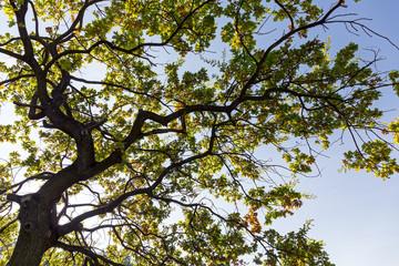 Old oak tree branch