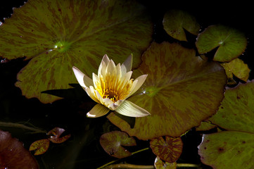 Lotus blossom afternoon
