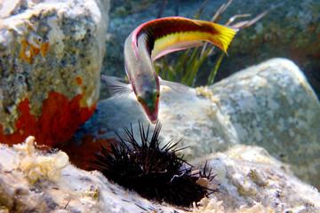 Mediterranean fish eat a sea urchin