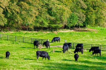 Cows grazing in a fresh green field, England