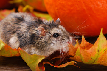 little hamster in autumn scenery