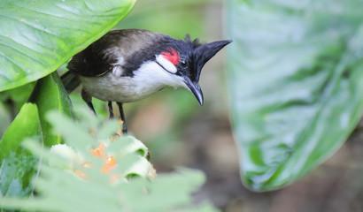 Red whiskered Bulbul - Pycnonotus jocosus
