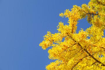 イチョウ 秋 Ginkgo tree   Autumn