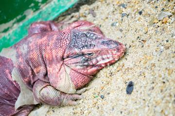 Molting reptile
