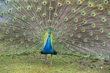 peacock bird wonderful feather open wheel portrait