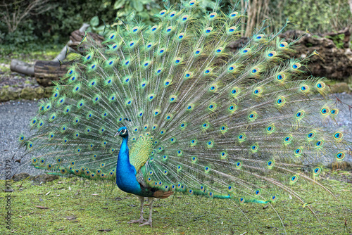 Foto op Plexiglas Pauw peacock bird wonderful feather open wheel portrait