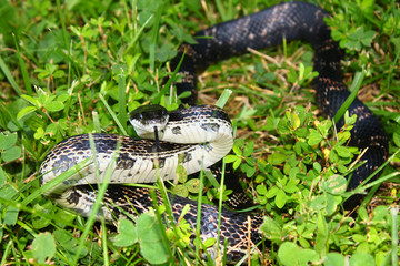 Rat Snake (Elaphe obsoleta) Illinois