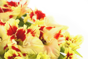 Red and yellow gladiolus \ horizontal \ isolated