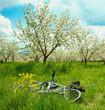 Постер, плакат: Apple Tree Blossom with White Flowers