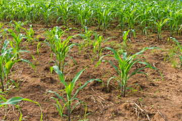 Corn crop was planted as rows growing on the soil fertility.